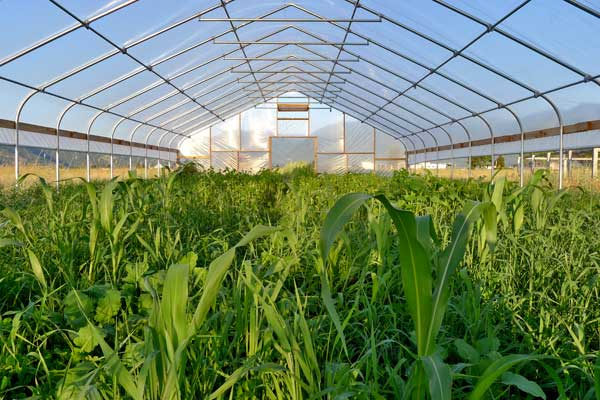 high-tunnel-cover-crop.jpg (51.97 Kb)
